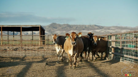 Toyota uses cows to promote Mirai fuel-cell sedan (video)