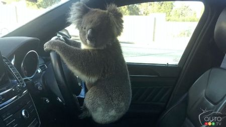 Koala Gets Behind the Wheel of an SUV in Australia