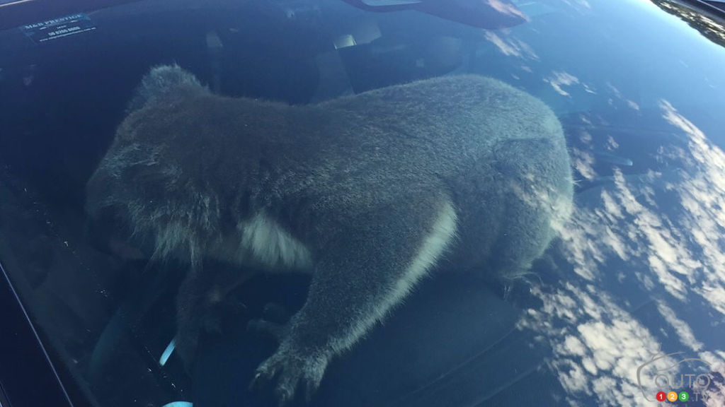 Le koala dans le VUS de Nadia Tugwell