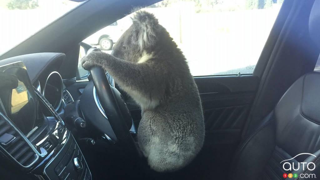 Le koala au volant du VUS de Nadia Tugwell