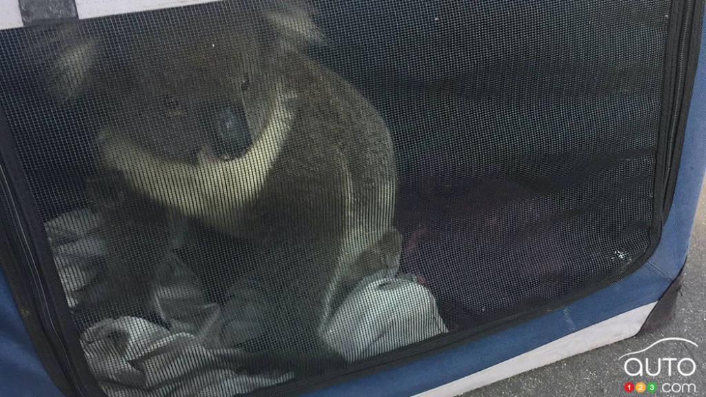Le koala dans le coffre du VUS de Nadia Tugwell